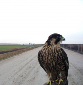 Dash is one of three new raptors that will be used to deter wild and flocking birds from gathering on or near YVR's airfield.
