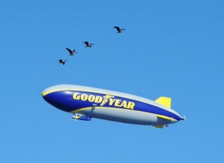 Four Canada geese welcome The Goodyear Tire & Rubber Company's newest blimp to the air during its first flight on March 17, 2014. Photo: courtesy Goodyear.