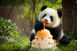 To celebrate Sichuan Airlines' second anniversary at YVR, Vancouver Airport Authority has named its newly adopted infant panda, Lulu, after the largest island estuary in the Fraser River.