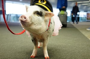 LiLou is the first known airport therapy pig in the U.S. Photo: Future Travel Experience.